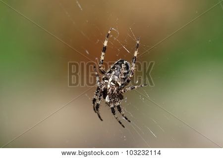 The cross spider, Araneus diadematus is a medium spide and belongs to the family of orb-weavers