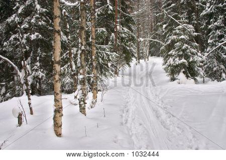 Winter Forest. Ski-Track