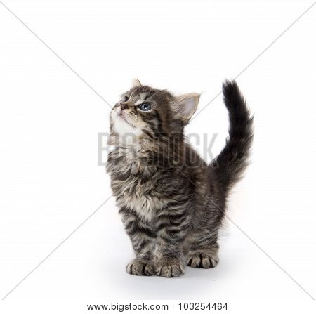 Cute Tabby Kitten Looking Up On White
