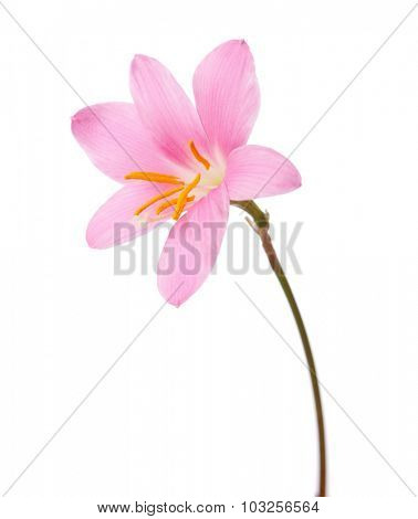 Pink lily isolated on a white background. zephyranthes candida