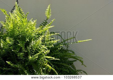 Boston Fern Outside