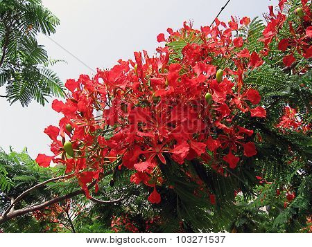 Red flowers, royal poinciana, flamboyant