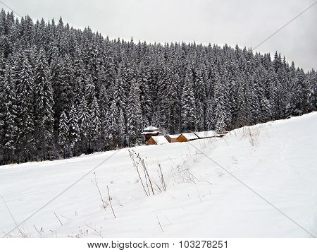 Snow-covered spruce forest. Winter