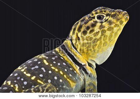 Yellow headed collared Lizard
