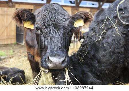 Galloway breed of cattle