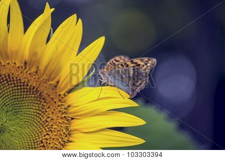 Miracle And Beauty Of Nature - Brown Butterfly Sitting On A Petal Of Yellow Sunflower