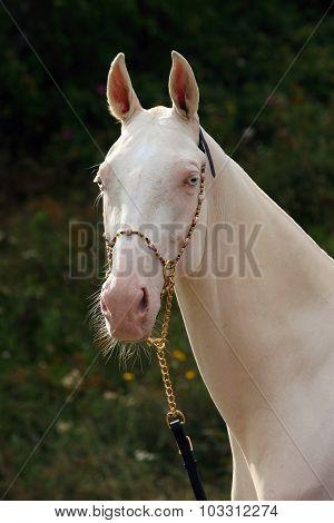 Blue-eyed Cremello akhal-teke horse in nature background