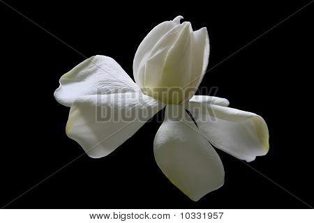 Creamy White Gardenia black background