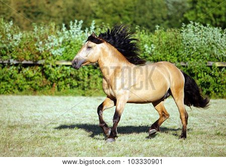 Draft horse runs gallop on the meadow in summer time