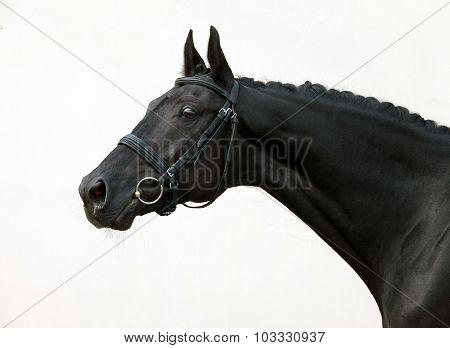 Beautiful head shot of a black thoroughbred racehorse