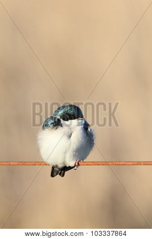 Puffy Tree Swallow