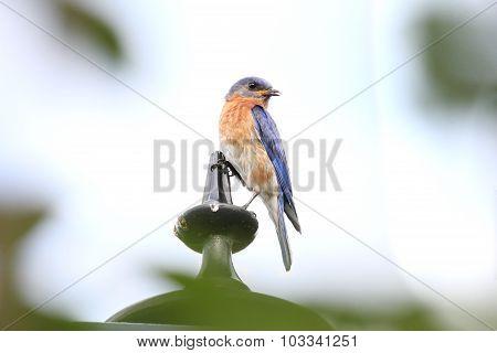 Singing Bluebird Right