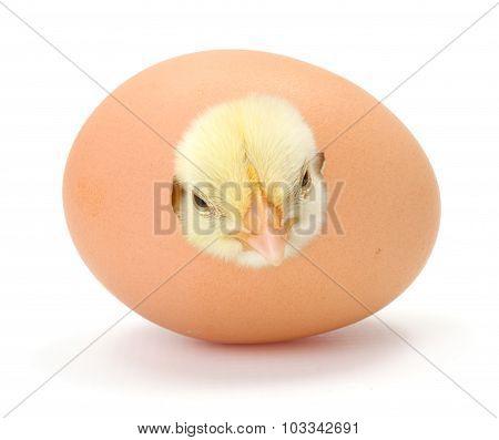 Newborn Yellow Chicken Hatching