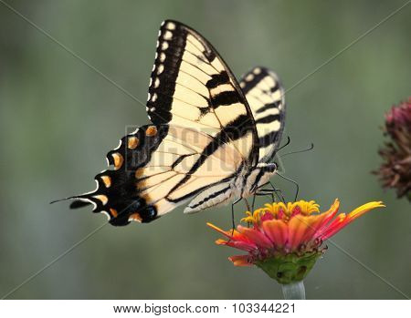 Tiger Swallowtail On Zinnia