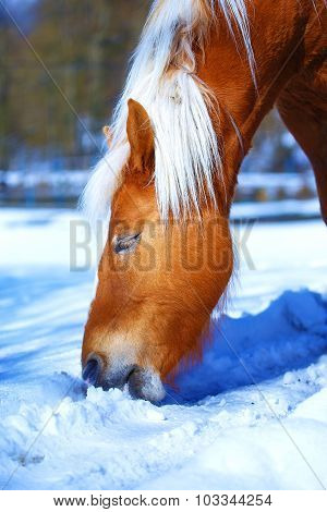 Brown Horse Haflinger in snowy pasture horse that eats snow