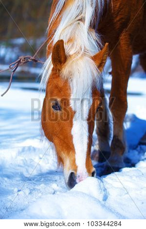 Brown Horse Haflinger in snowy pasture. Snow land