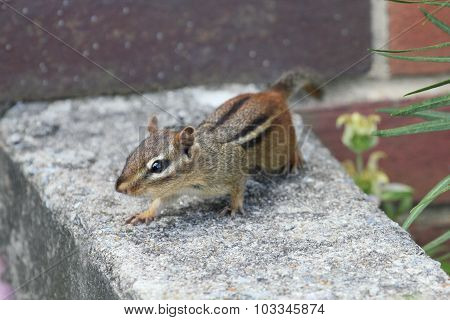 Chipmunk Midstride