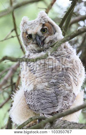 Baby Owl & Branches