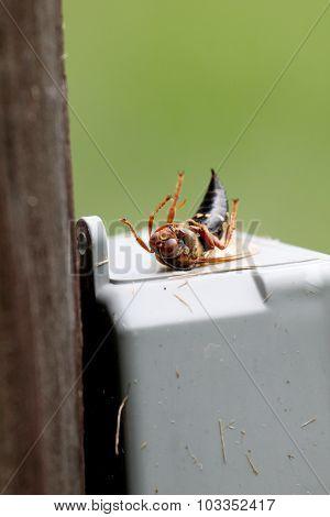 Dead Cicada Killer