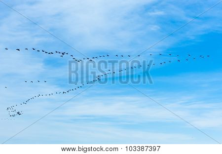 Large Flock Of Cormorants Flying In V Formation