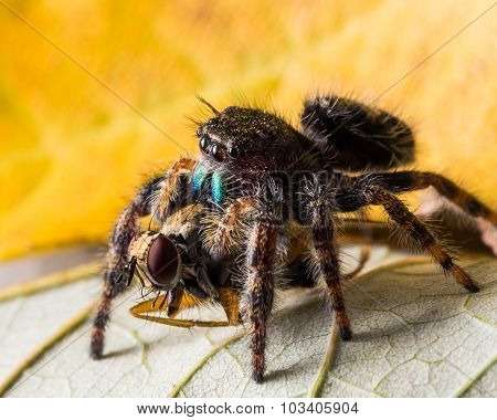 Black Jumping Spider Eats Fly With Red Eyes