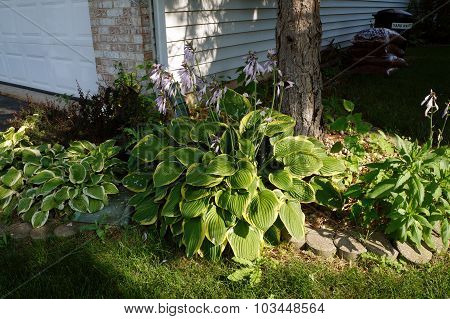 A Siebold's plantain lily (Hosta sieboldii 'variegata') blooming in front of a house in Joliet, Illinois. poster