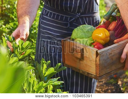 Chef harvesting fresh produce off the local sustainable organic farm
