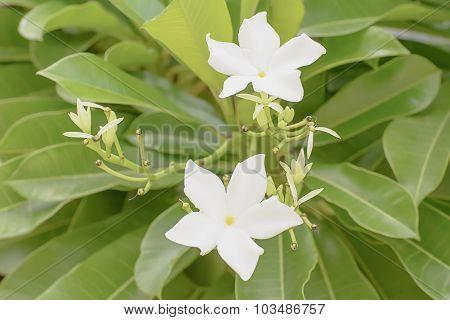 Forest Jasmine