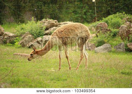 Photo Of Vicuña (vicugna) Eating Grass