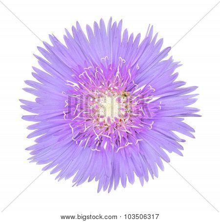 Stoke Aster Flower