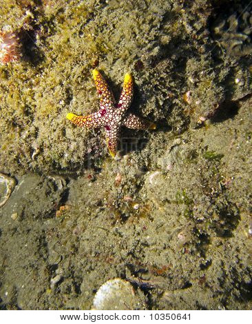 Seastar / Starfish