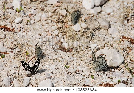Limenitis Camilla And Aporia Crataegi Butterflies