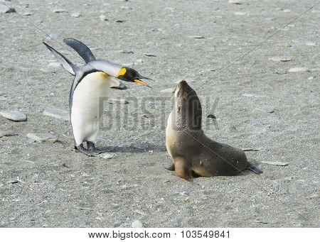 King Penguin-Fur Seal