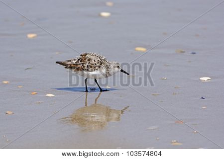 Sanderling Reflected On An Ocean Beach