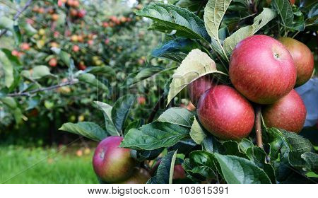 Red Apples Ripe For Picking