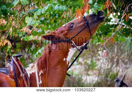 Skewbald Horse Eating Leaves
