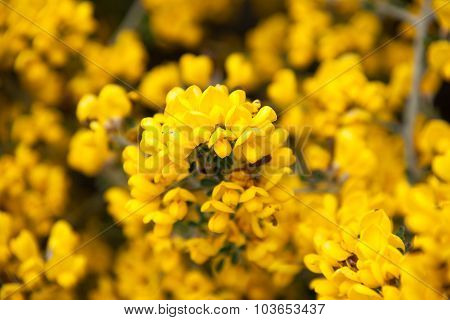 Close Up Of Gorse Flowers
