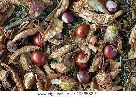 Horse Chestnuts Or Conkers.