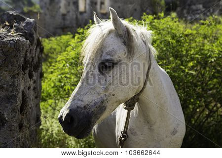 White Horse Looking At Camera Closeup In A Ghost Town Village Kayakoy Ruins