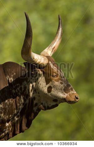 watussi - rind / Bos taurus / ankole cattle