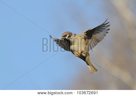 Flying Tree Sparrow Against Bright Blue Sky Background