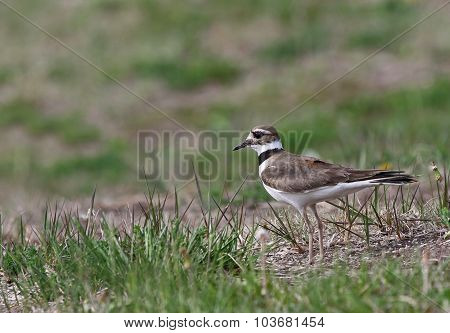 Stationary Killdeer