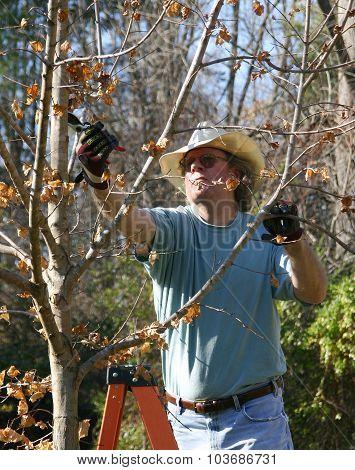 Man On A Ladder Prunes A Maple Tree In Winter