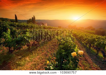 Ripe wine grapes on vines in Tuscany, Italy. Picturesque wine farm. Sunset warm light