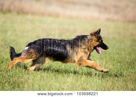 German shepherd dog long-haired running outdoor