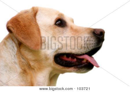 Labrador Retriever Head