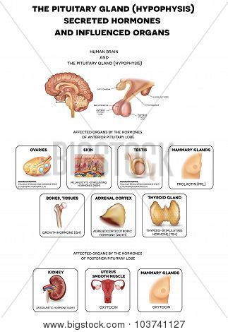 The Brain And Pituitary Gland Hormones