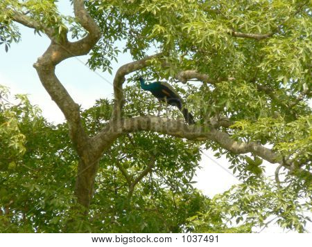 Pea Cock On A Tree