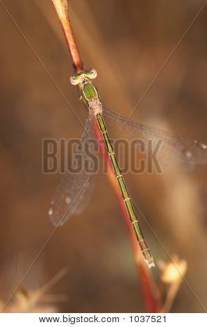 Dragonfly (Lestes Barbarus)
