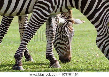 Beautiful Background With Two Zebras
